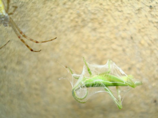 蜘蛛の糸でまかれたショウリョウバッタ