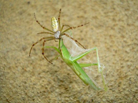 蜘蛛に捕食されるショウリョウバッタ