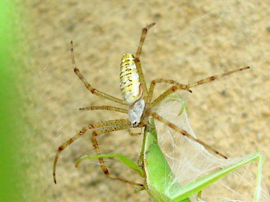 蜘蛛に捕食されるショウリョウバッタのズーム写真