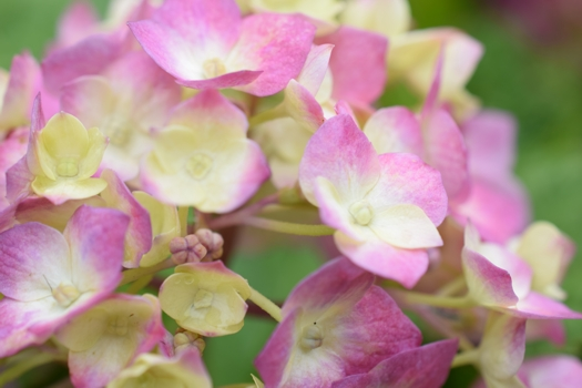 KenU's Garden hydrangea( 感度ISO100, 絞りf/7.1, 露出時間1/200sec, 露出補正+0.3)