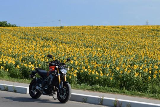 沿道の向日葵
