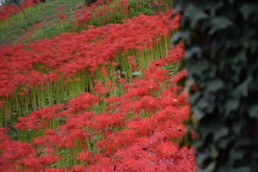 羽黒山公園の斜面に群生するヒガンバナ(曼珠沙華)