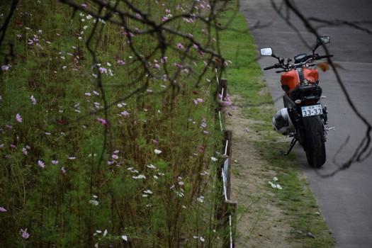 秋桜の傍らのMT-09