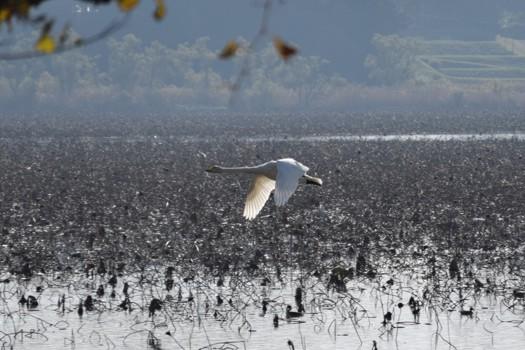 飛行する伊豆沼の白鳥
