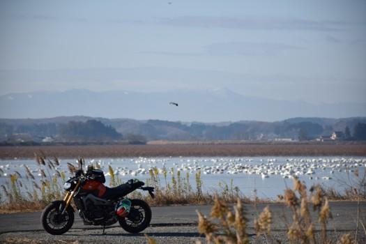 伊豆沼の白鳥とMT-09