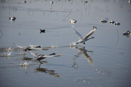 水上を走る白鳥