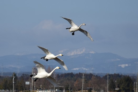 白鳥の白い三連星