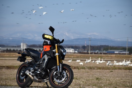 花淵山を背景に白鳥とマガンとMT-09
