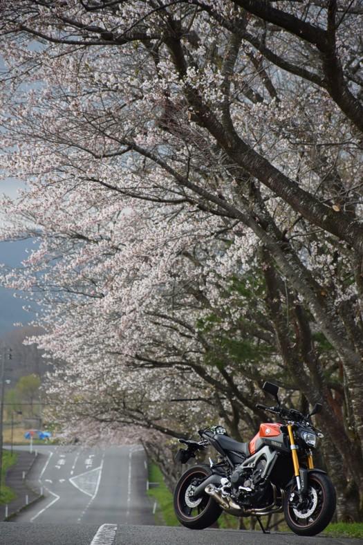 やくらいファミリースキー場の桜とMT-09