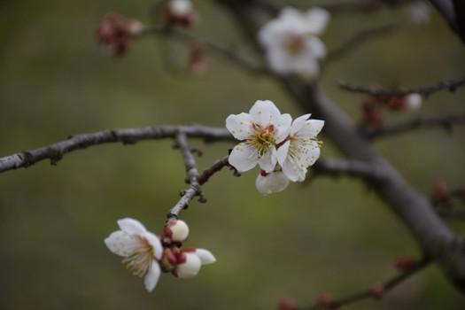 佐藤農場の白梅の花びら