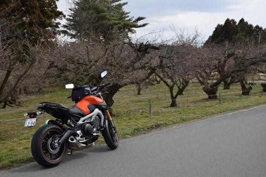 佐藤農場の梅とMT-09