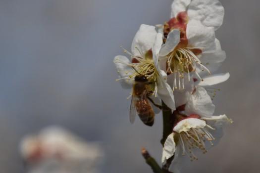 白花梅と蜂