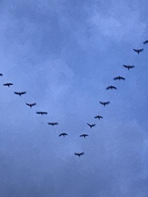 V字飛行で帰巣するマガン.jpg