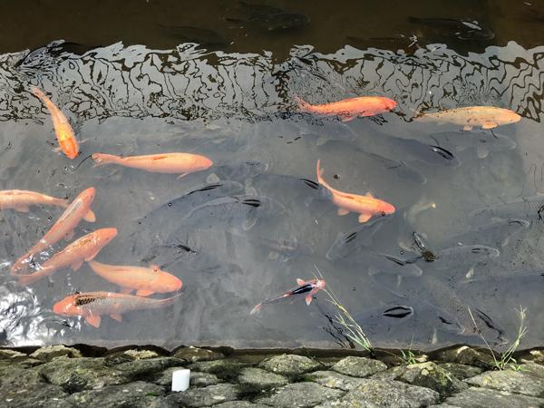 緒絶川の鯉.jpg